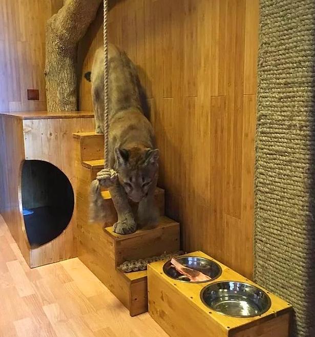 У супружеской пары из Пензы в квартире живет пума