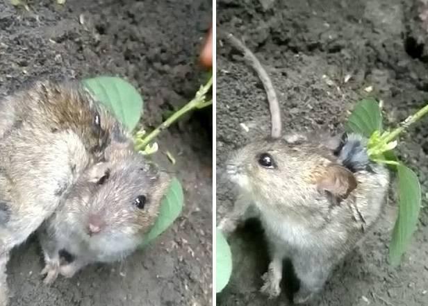 Из тела живой крысы пророс с…