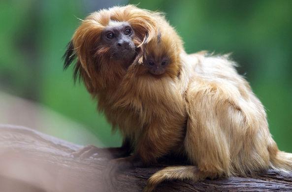 Редчайшая обезьянка родилась в Иерусалимском библейском зоопарке