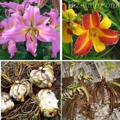 Готовые к пересадке луковицы лилий и корневища лилейников