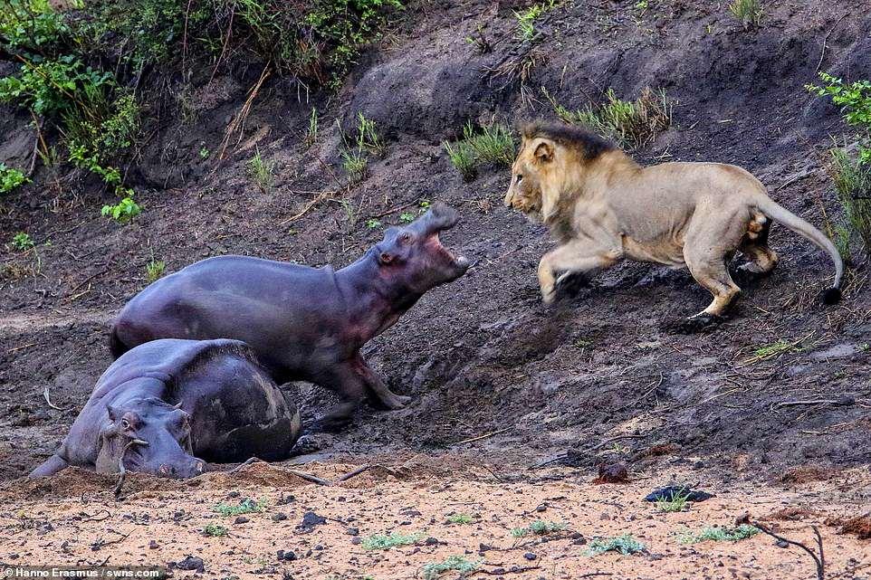Храбрый маленький бегемот, пытавшийся спасти свою мать