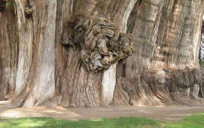 Некоторые скептики утверждали, что это не одно дерев, а три - однако, анализ ДНК подтвердил, что это - действительно одно великолепное дерево... В 1994 году онр, казалось, начало умирать: листья пожелтели, высохли некоторые ветви, однако с началом сезона обильных дождей дерево вновь возродилось....