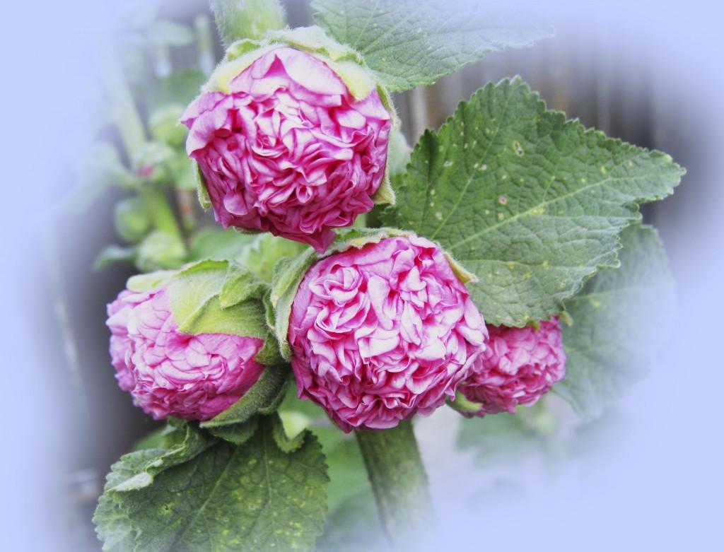 Начало цветения Махровой мальвы...