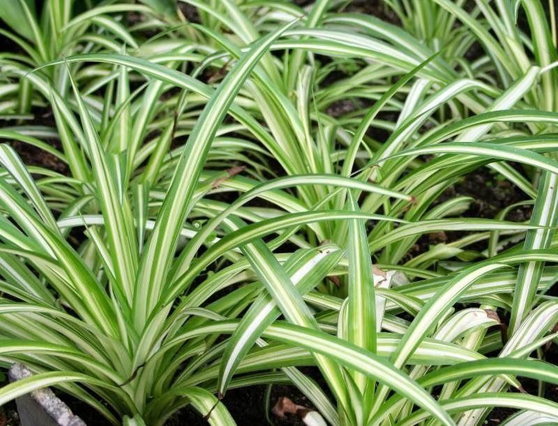 Хлорофитум - некапризное растение