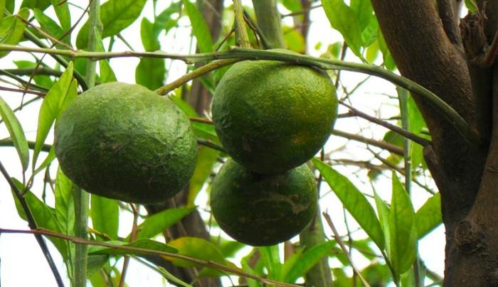 Большой сладкий сочный фрукт с зеленовато-желтой морщинистой кожей.