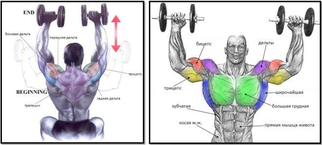 Жим гантелей сидя – какие мышцы работают