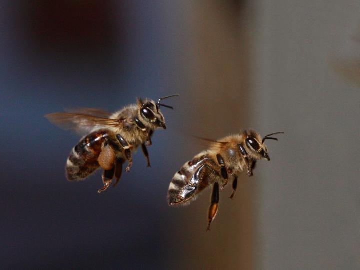 Пчела-кормилица