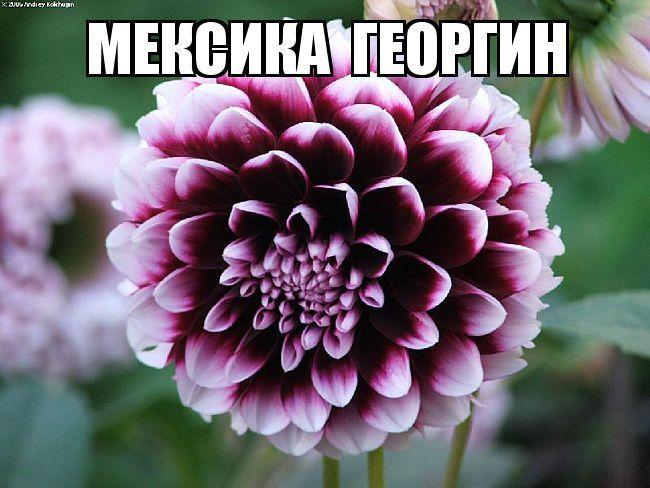 Цветы - национальные символы стран мир, растения, страны, символы, цветы