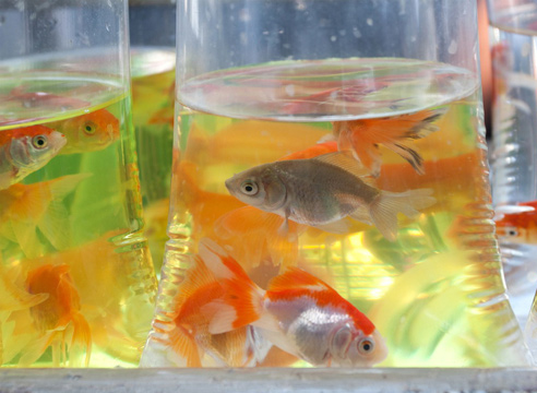 goldfish and water temperature
