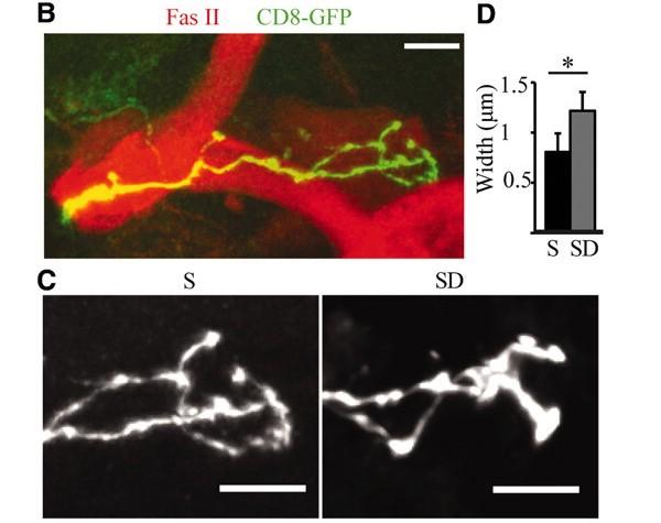 B: гамма-нейроны грибовидных тел, окрашенные зеленым флуоресцентным белком. C:окончания аксонов после сна(S) заметно тоньше, чем после бессонной ночи(SD). D:средняя толщина (вмкм) аксонных окончаний у гамма-нейронов после сна(S) и после бессонной ночи(SD). Изображение из обсуждаемой статьи вScience