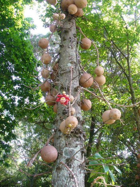 Уникальное дерево несущее опасность
