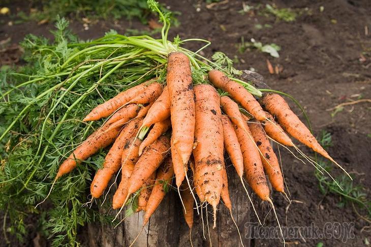 Удобрения для качества и количества моркови от посадки до сбора урожая