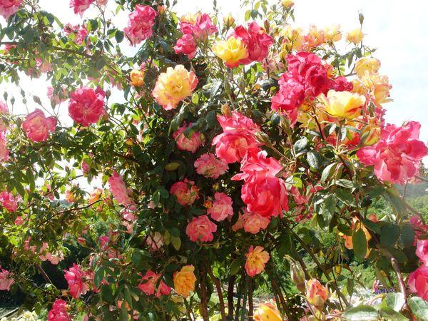 Роза сорт Полька-Бабочка