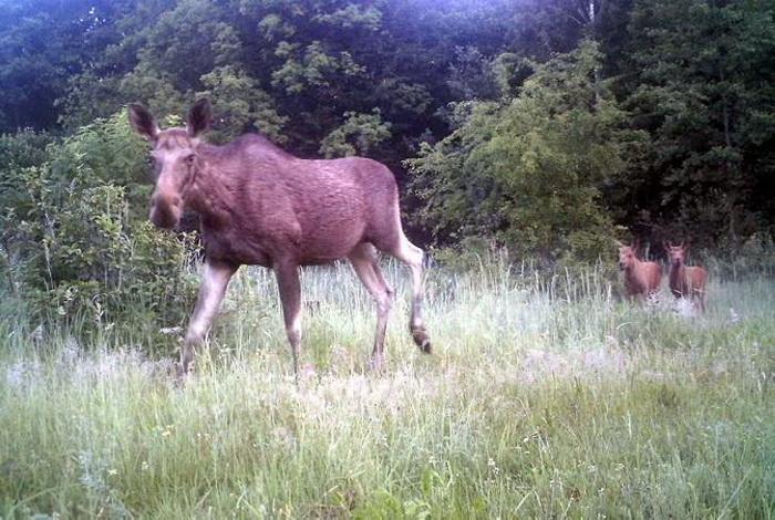 Лосиха и два ее малыша.