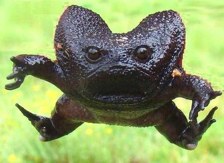 Черная водяная лягушка Breviceps fuscus