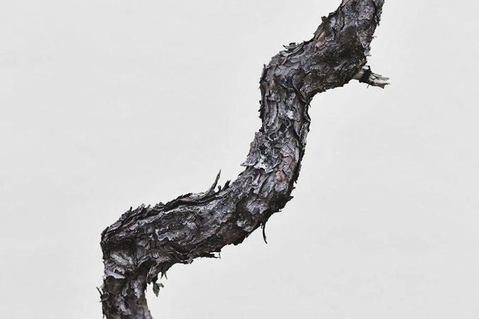 Японская черная сосна, дата неизвестна. Фото: Stephen Voss.