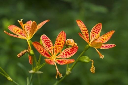 Беламканда китайская — леопардовая лилия