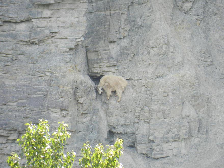 crazygoats18 Козлы, которым не ведома боязнь высоты