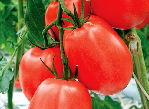 Мои сливовидные сорта томатов - подробное описание