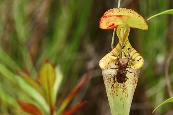 Хищные растения острова Борнео