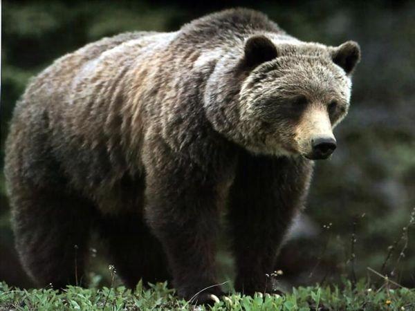 В схватке с медведем. природа, человек