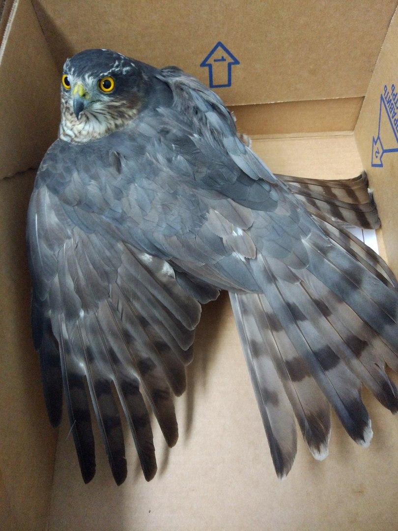 Жительница Балакова спасла хищную птицу от собак