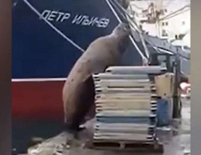 Сивуча застукали за кражей рыбы с причала в Петропавловске-Камчатском