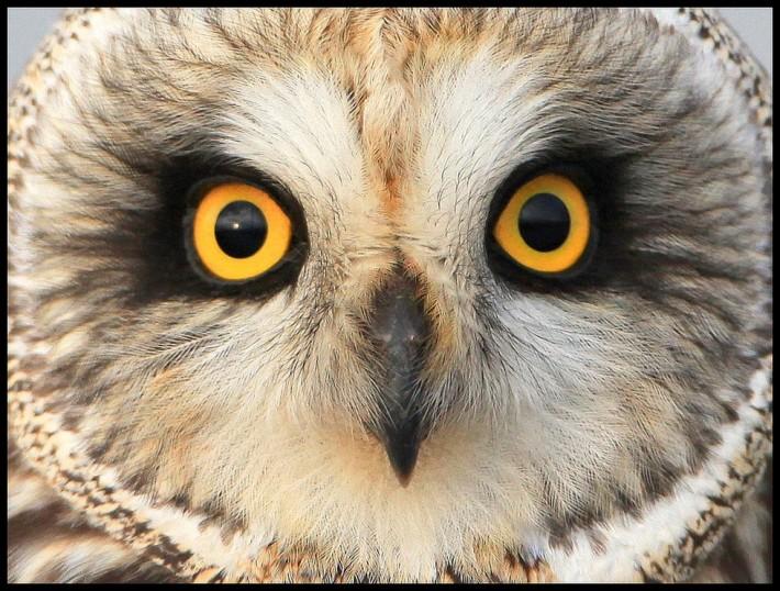22 совы-гипнотизера
