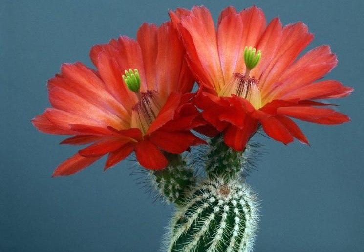 7 правил цветения кактусов..