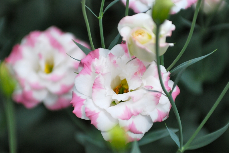 Прекрасный цветок - Эустома
