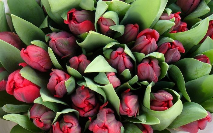 tulips-11_reisgekki_ncnd_1_display (700x438, 187Kb)