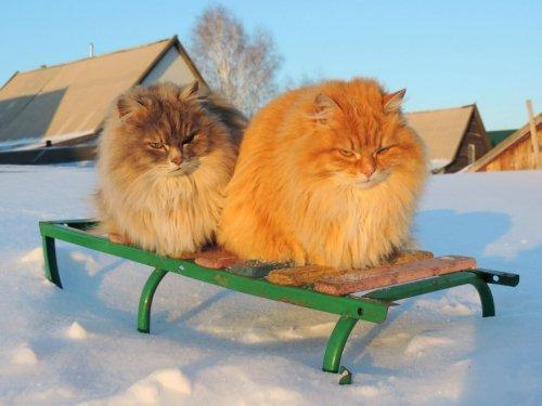 Вся красота сибирских котов от Аллы Лебедевой