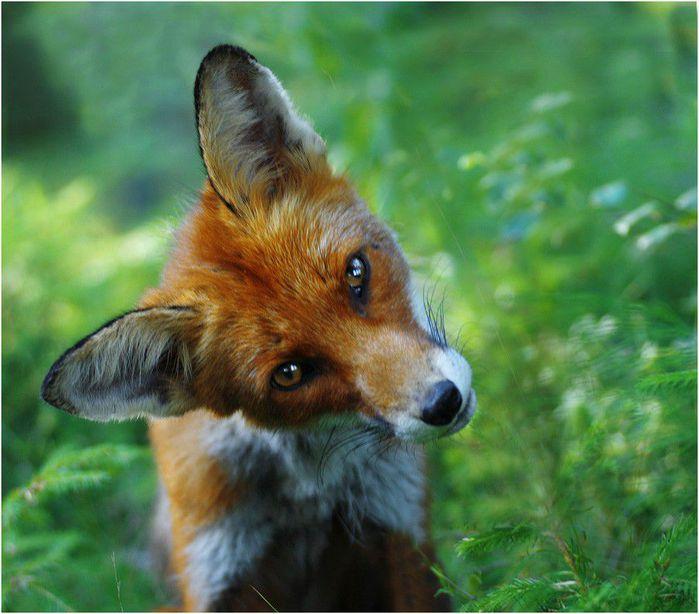 fox_20120409_00640_018 (700x600, 62Kb)
