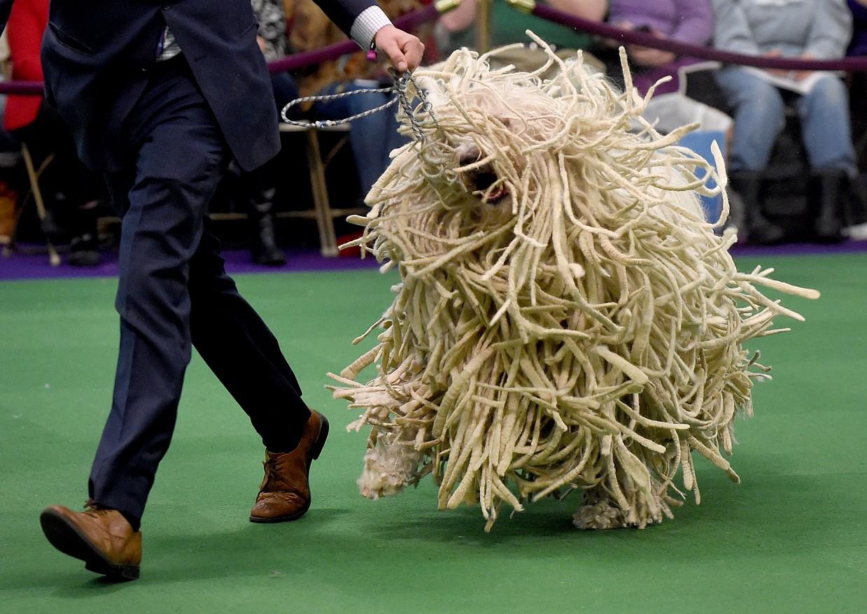 Обалденные собаки - венгерские овчарки