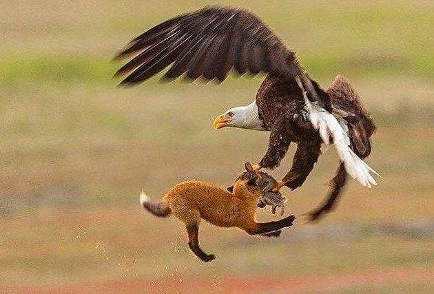 Белоголовый орлан-клептопаразит украл кролика у лисы