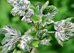 Разные полезности- Избавляемся от мучнистой росы на смородине