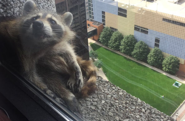 Енот залез на 23 этаж небоскреба и отказывается спускаться