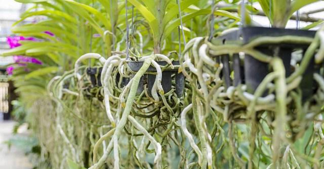 Что делать с корнями орхидеи