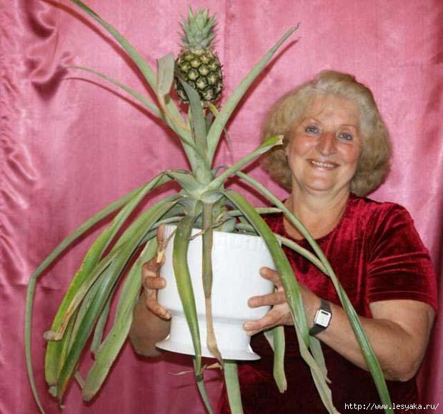 Как вырастить ананас на подоконнике!