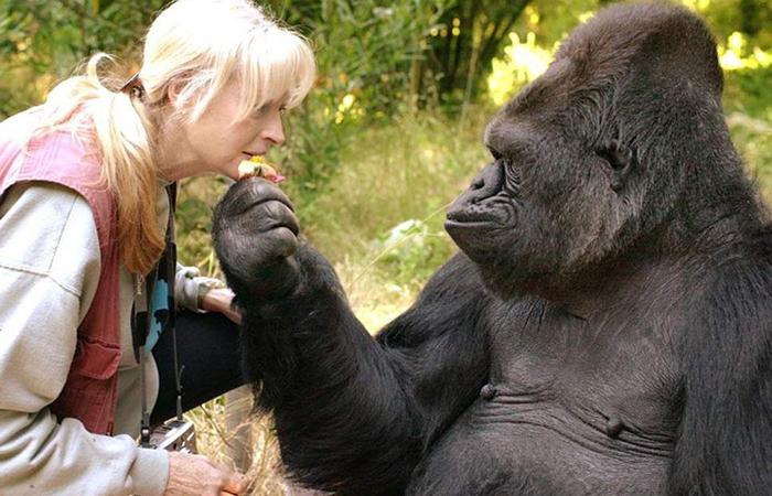 Умерла единственная в мире «говорящая» горилла, знавшая около тысячи слов