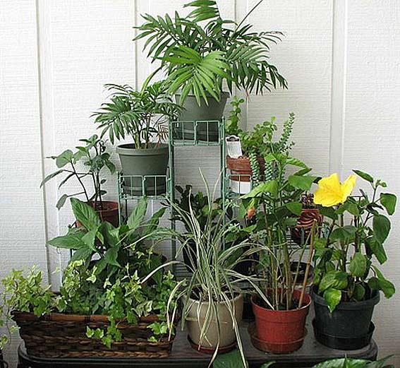 Очистка воздуха домашними растениями.