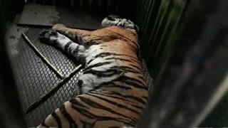 Жители деревни поймали тигра, убивавшего людей