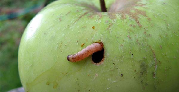 Картинки по запросу червивые яблоки как бороться