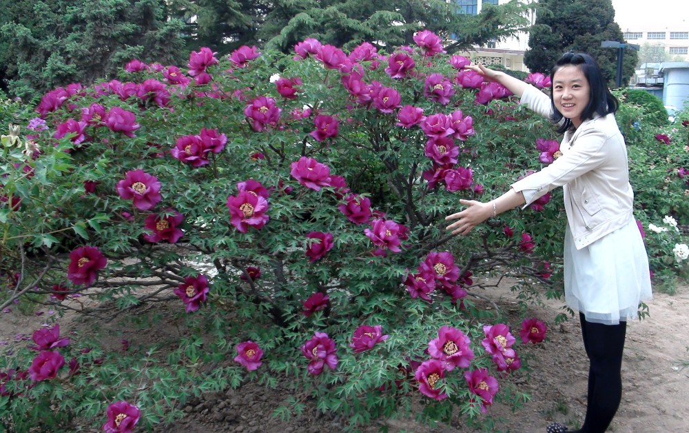 Пион Рока: уникальное пионовое дерево
