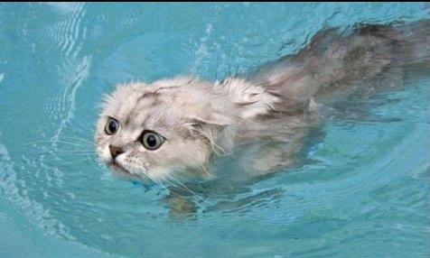 Плавающий кот смог спасти иг…