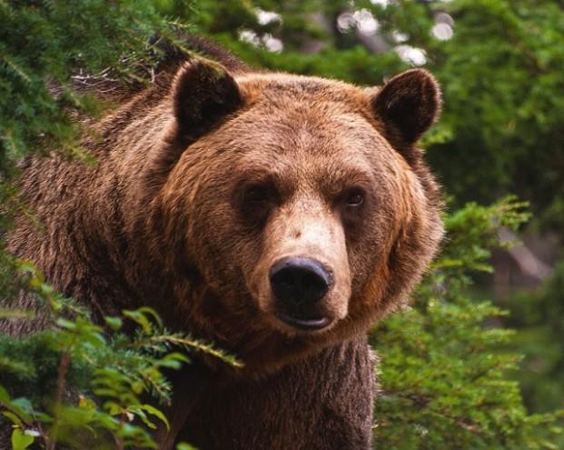 Прописал «двоечку»: уралец отбился от медведя голыми руками