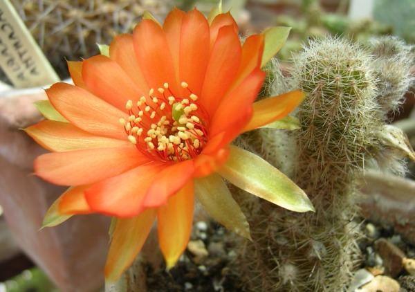 Когда цветут кактусы и как им помочь