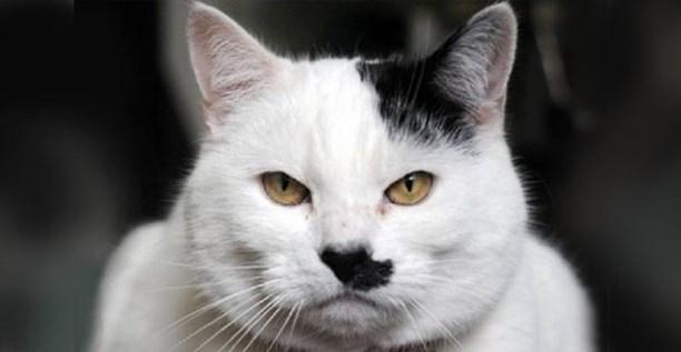 10 признаков того, что ваш кот - Гитлер