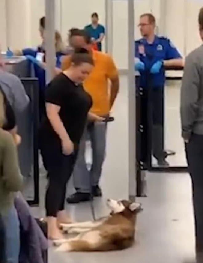 С псом скучно не будет: упрямец — хаски разлегся в аэропорту, затормозив движение очереди