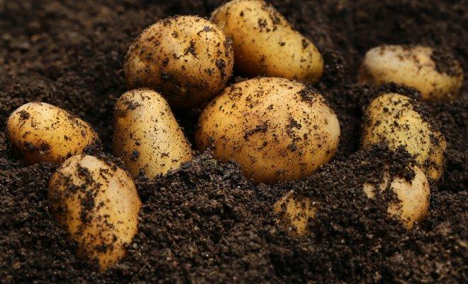 Молодая картошка в октябре? …